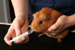 Oral antibiotics given to a guinea pig(Diarrhea)