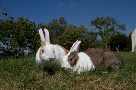 Heat Stroke in rabbit