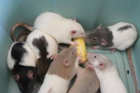 Food allergy in rats