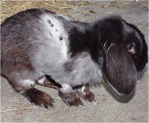Can Rabbit Fur Cause A Dog To Cough